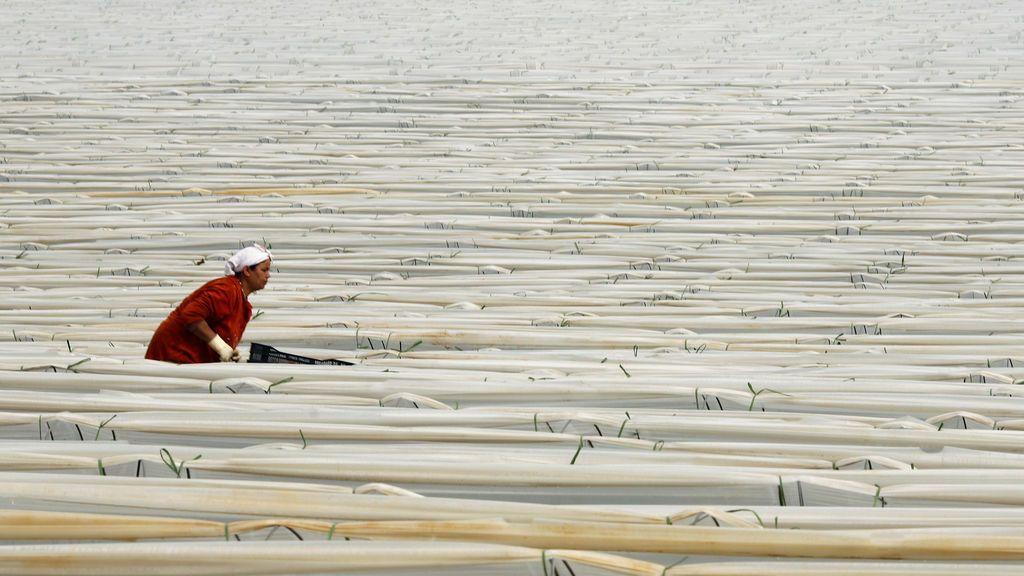 Trabajadora en un campo de fresas en Palos de la Frontera ( Huelva)