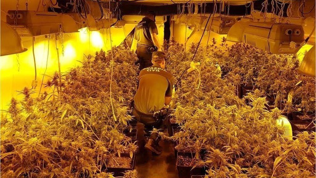 Detenido en Alicante por tener 766 plantas de marihuana en un cultivo 'indoor'