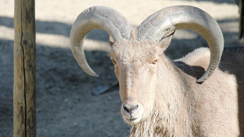 Una cabra choca con un autobús en Valencia y la localizan dos horas después en Sedaví