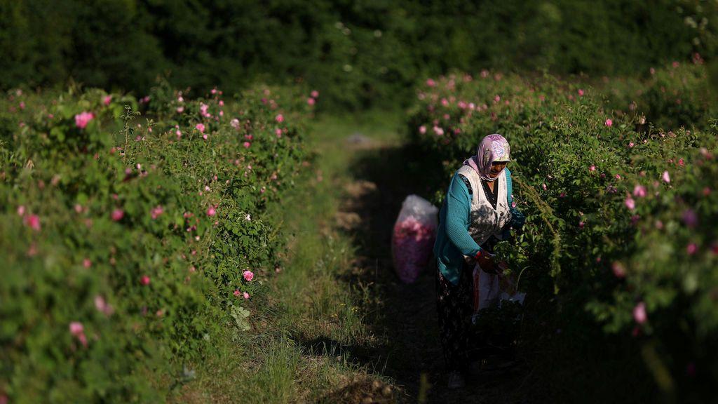 Recolección de flores en Bulgaria