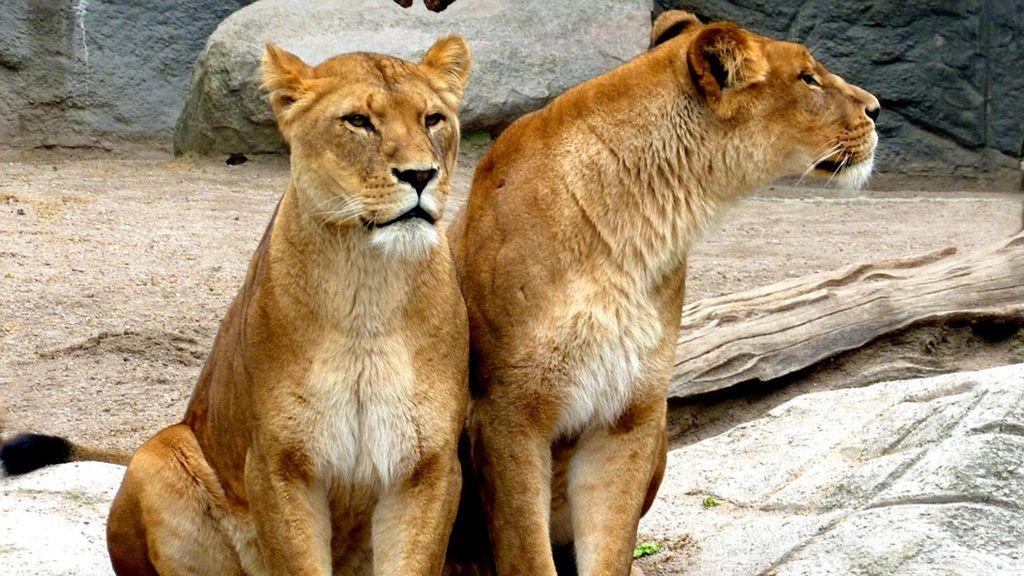 Dos leones, dos tigres y un jaguar se escapan de un zoo en Alemania