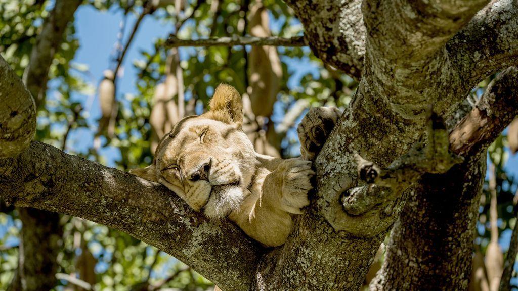 Mueren envenenados al menos nueve leones en el Parque Nacional Serengeti, Tanzania