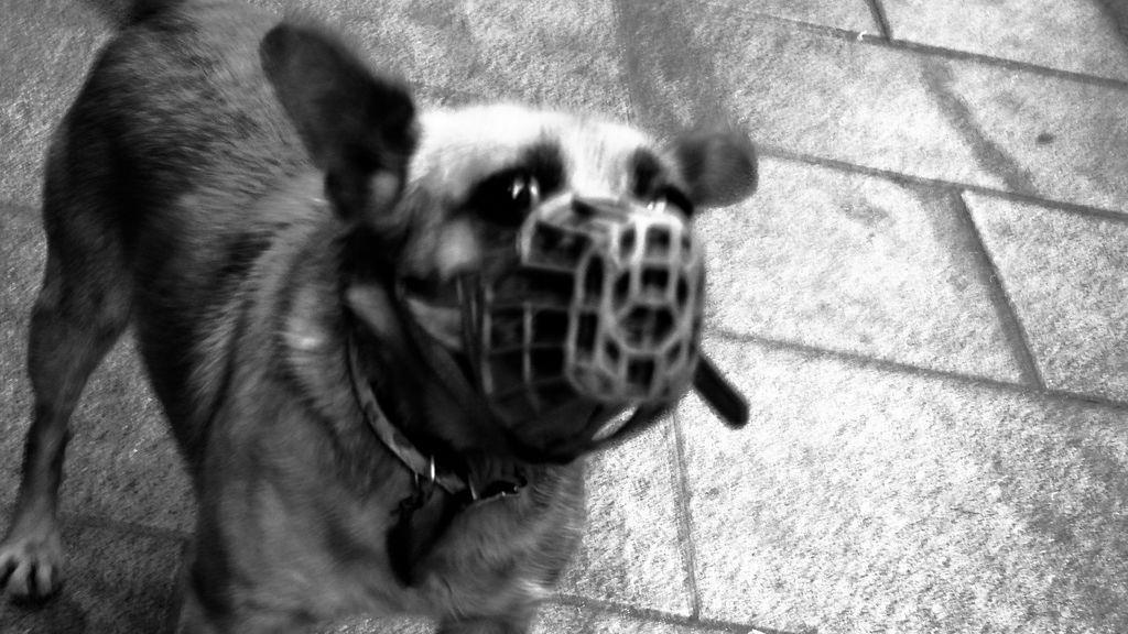Muere un perro en Lugo porque su dueña le puso un bozal y no podía comer ni beber