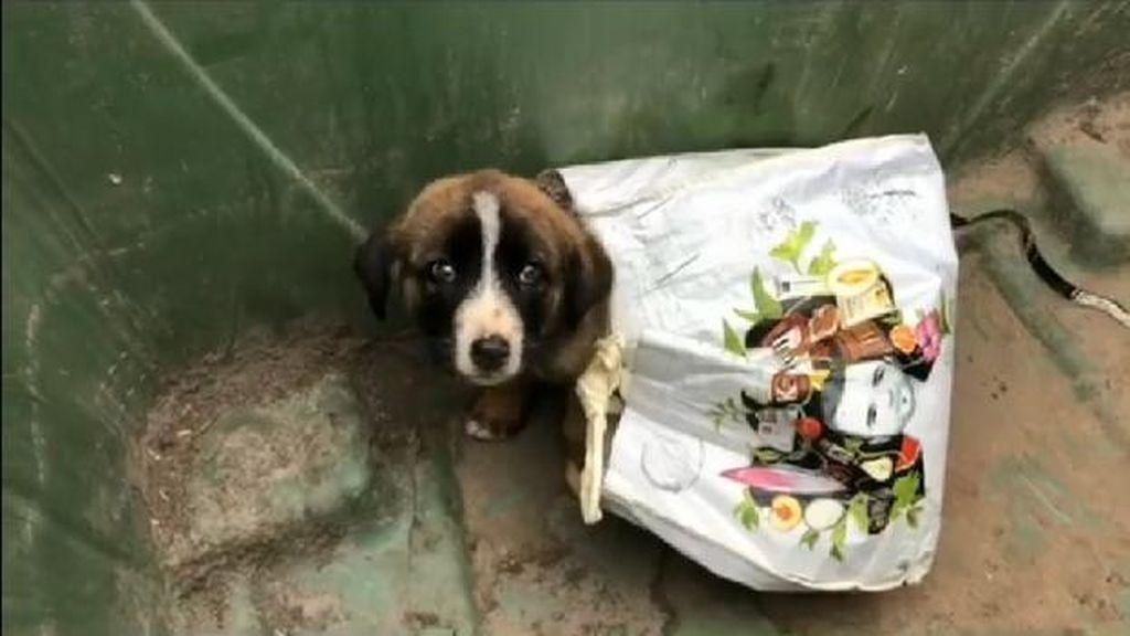 Abandonan a un cachorro de mastín en un contenedor de basura en Grado