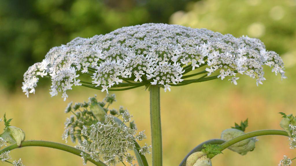La planta que te puede dejar ciego solo con tocarla