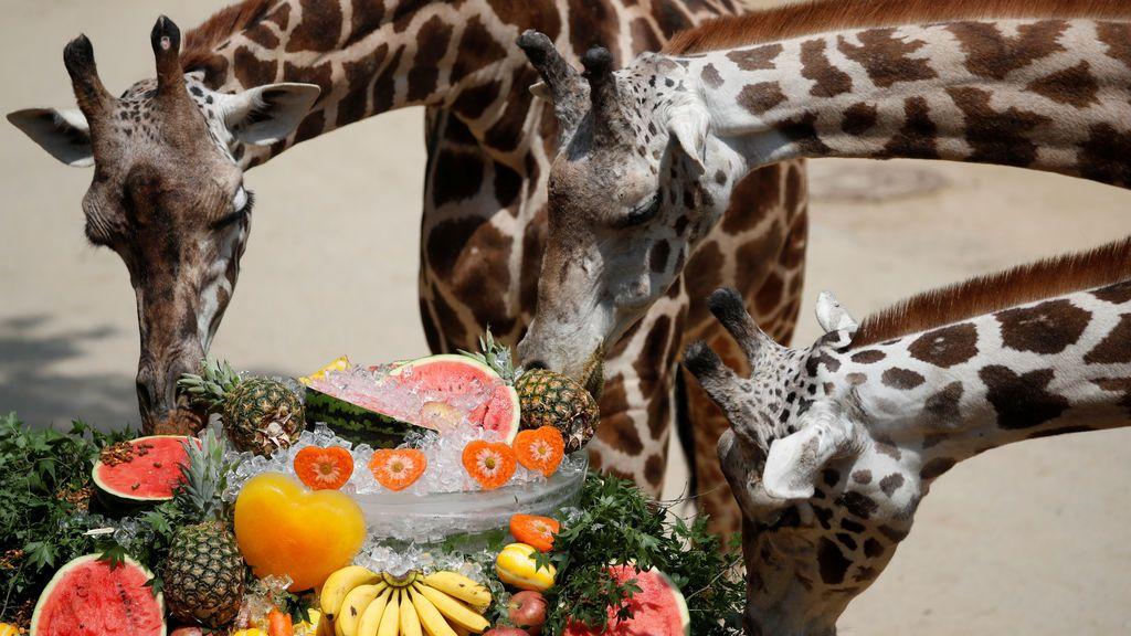 Las jirafas de Yongin se enfrentan al calor