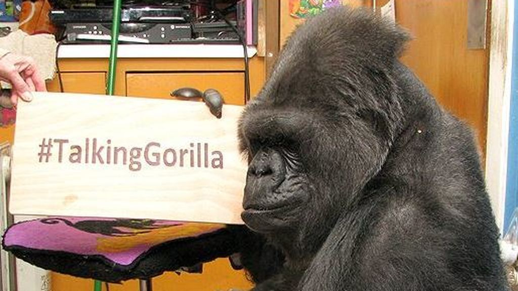 Muere la única gorila capaz de hablar a través del lenguaje de signos