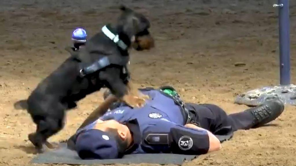 Perro aprende a reanimar a su compañero policía
