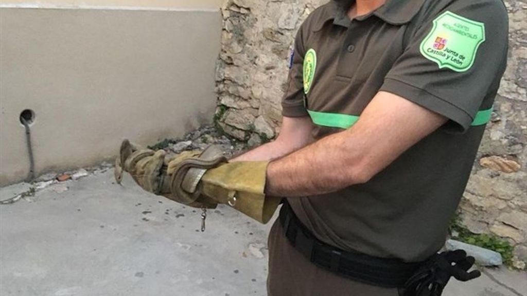 Retiran una culebra de escalera de una vivienda de Sepúlveda (Segovia)