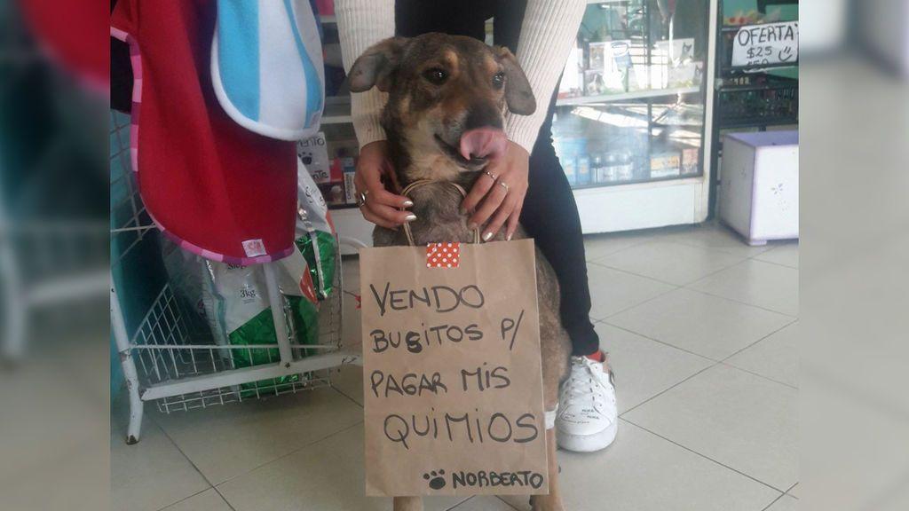 """Norberto, el perro que vende """"busitos"""" para pagar su tratamiento contra el cáncer"""