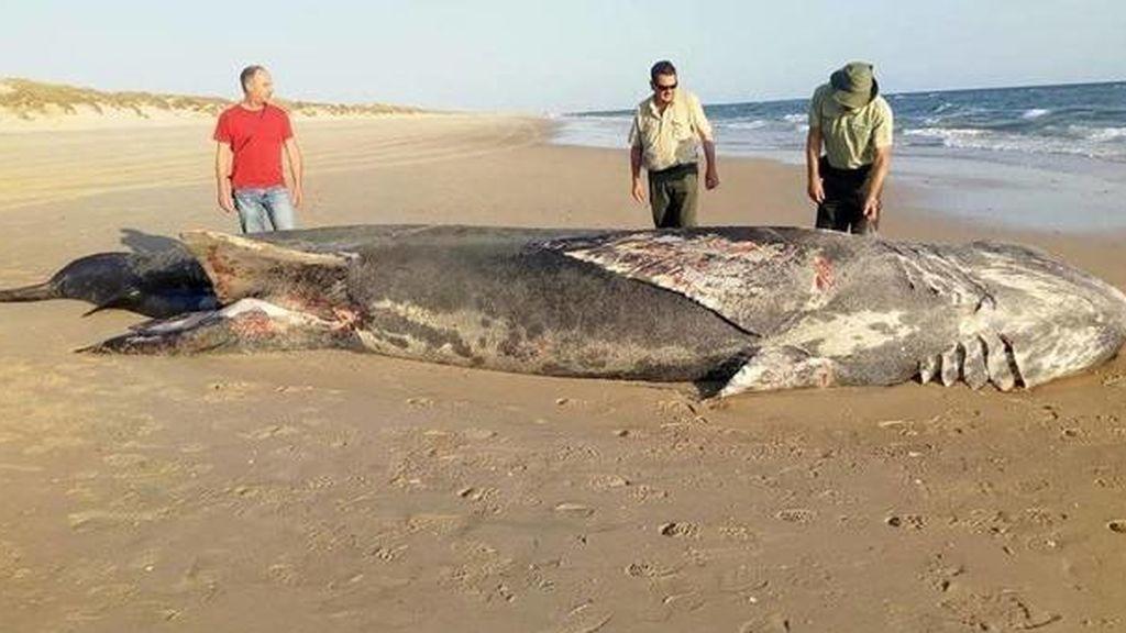 Aparece muerto un tiburón de nueve metros en la playa de Doñana