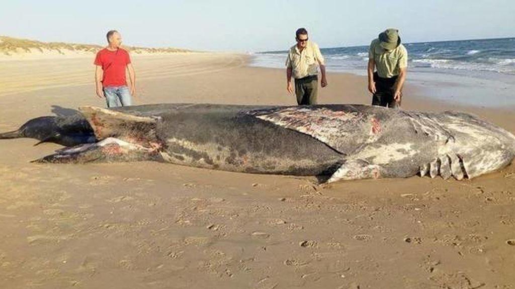 Sorpresa en una playa de Doñana: aparece muerto un tiburón de nueve metros