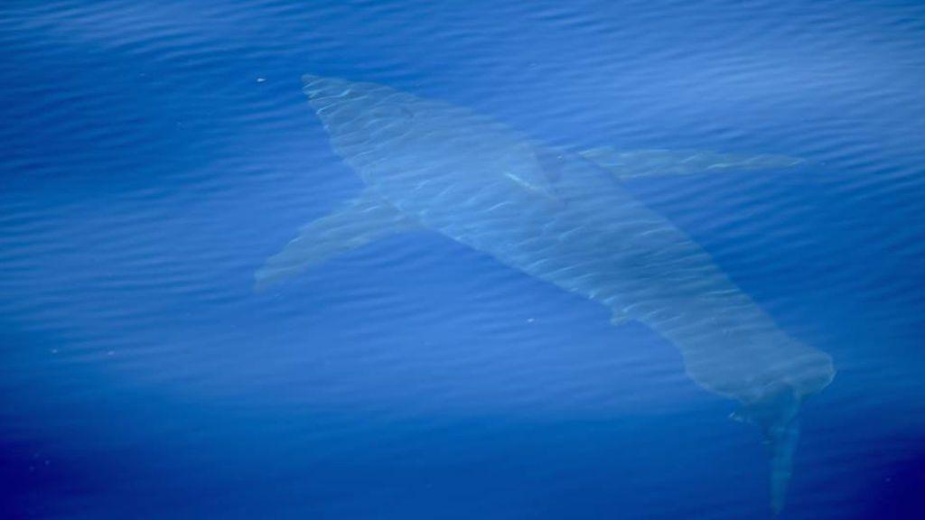 Avistado un tiburón blanco de cinco metros en aguas próximas a la isla de Cabrera
