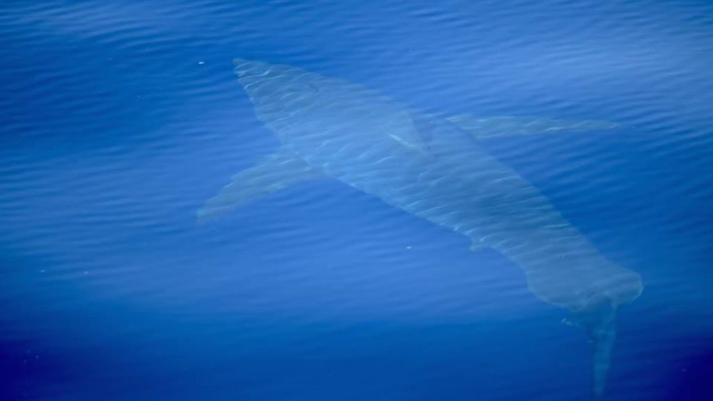 Un tiburón blanco de cinco metros  merodea por las costas de Baleares
