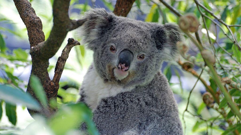 El genoma de los koalas explica porque ellos si pueden comer hojas de eucalipto y tu no