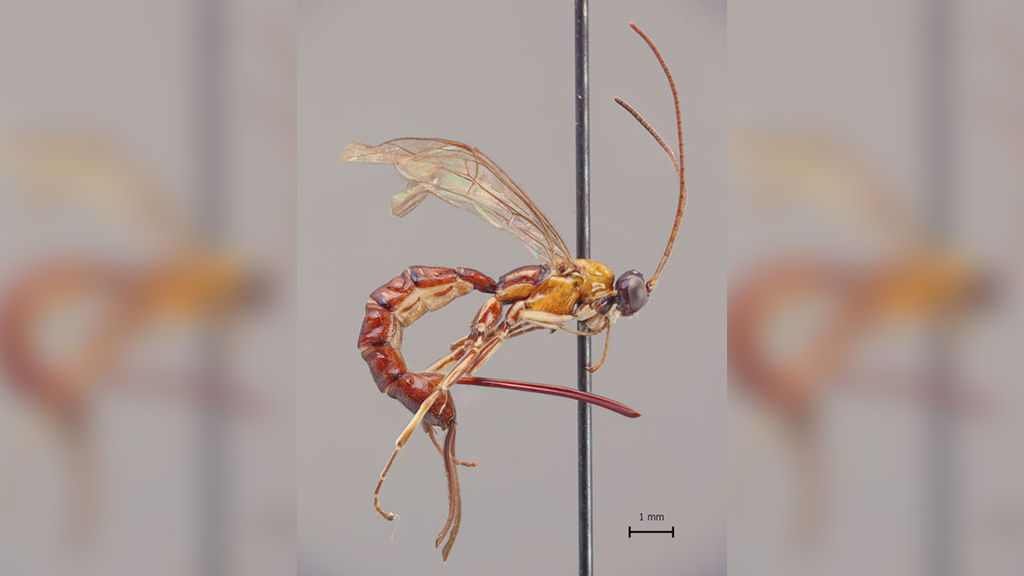Investigadores finlandeses descubren una avispa en el Amazonas con un aguijón descomunal
