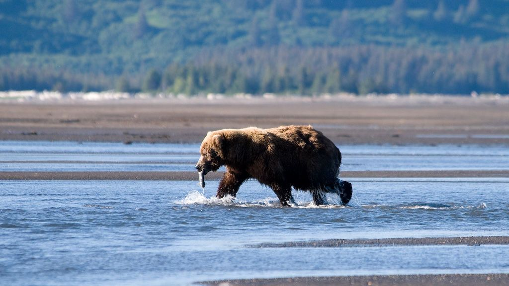 Un oso adulto acaba con la vida de un osezno en un famoso Parque Natural de EEUU