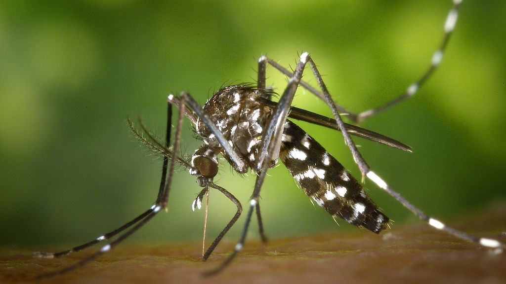 tiger-mosquito-49141_1280