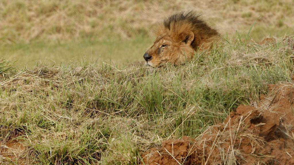Mueren dos supuestos cazadores furtivos atacados por leones en una reserva en Sudáfrica