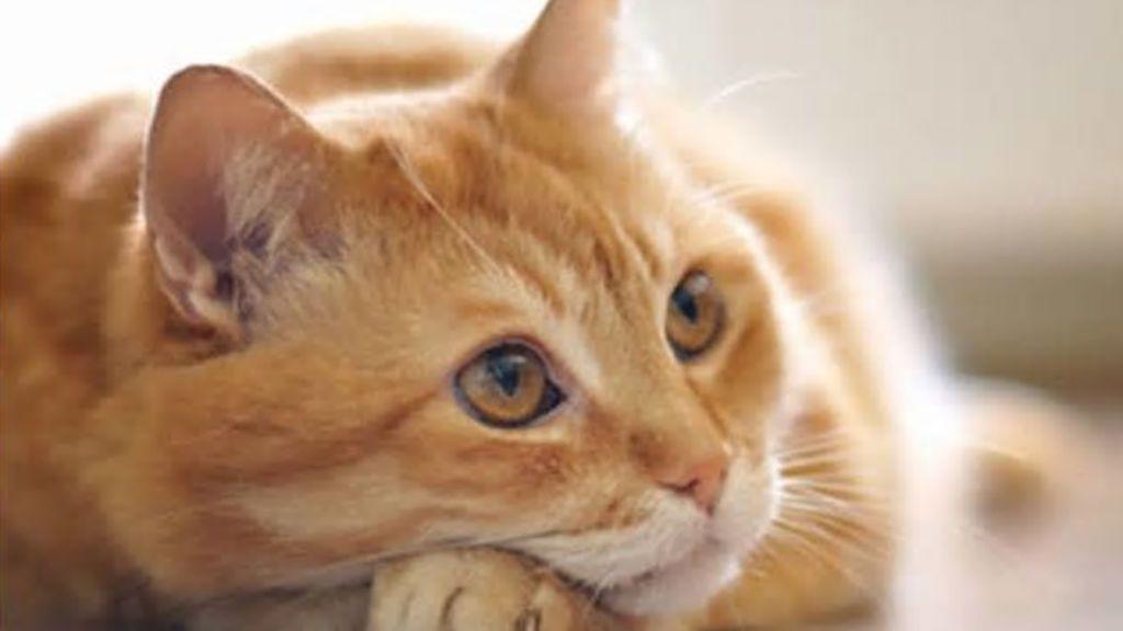 Un gato, protagonista de un vídeo viral cuando interrumpe la entrevista que le hacían a su dueño