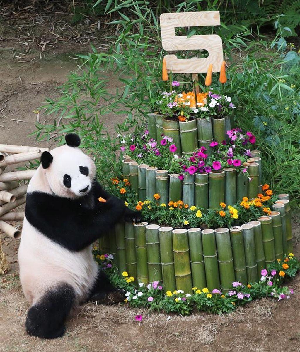Ai Bao cumple cinco años