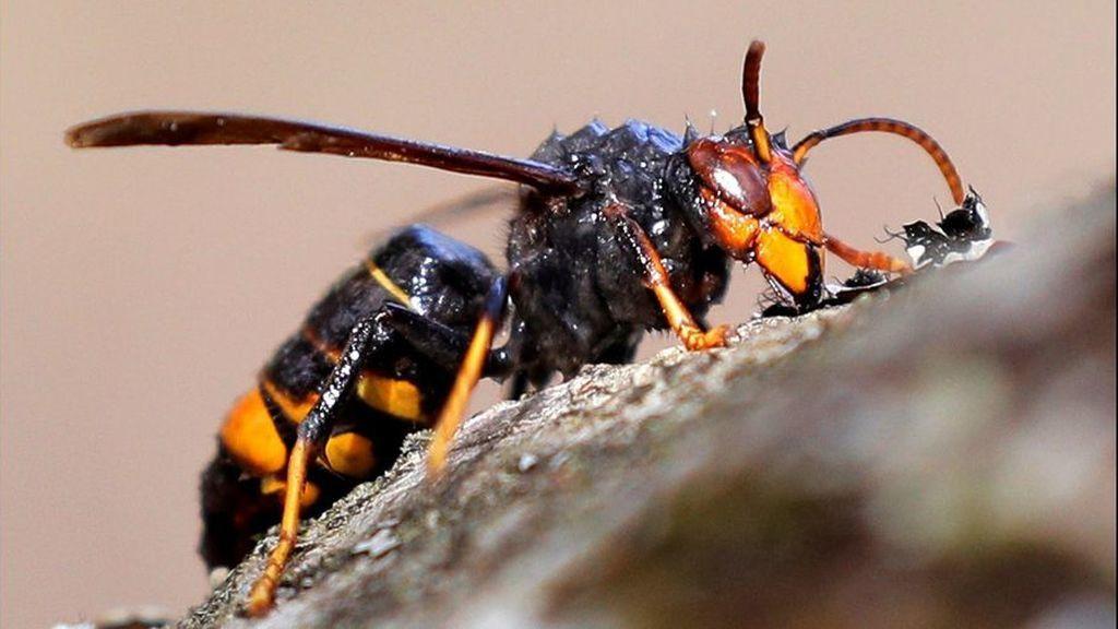Muere un hombre en Viveiro (Lugo) por una picadura de avispa velutina