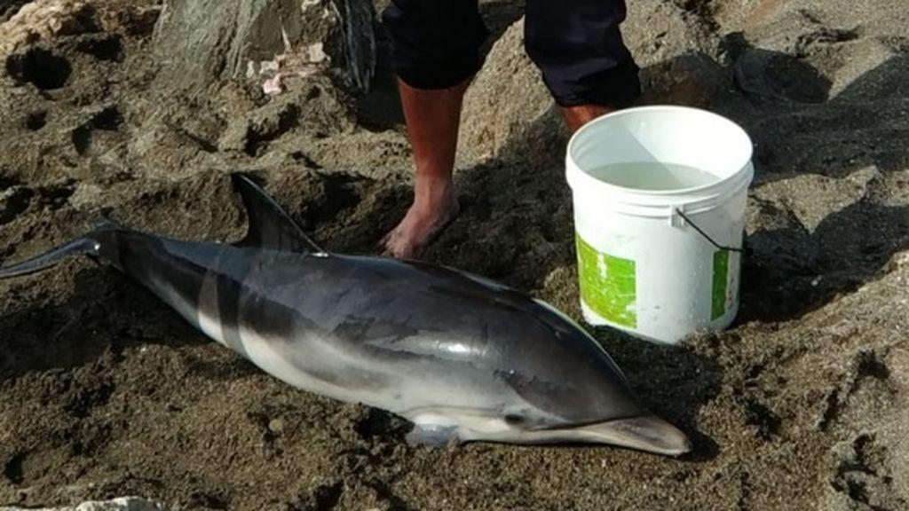Rescatan a una cría de delfín varada en la playa de Vélez