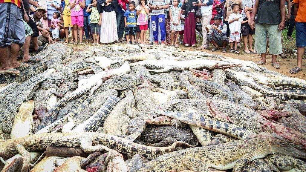 Matanza cocodrilos Indonesia