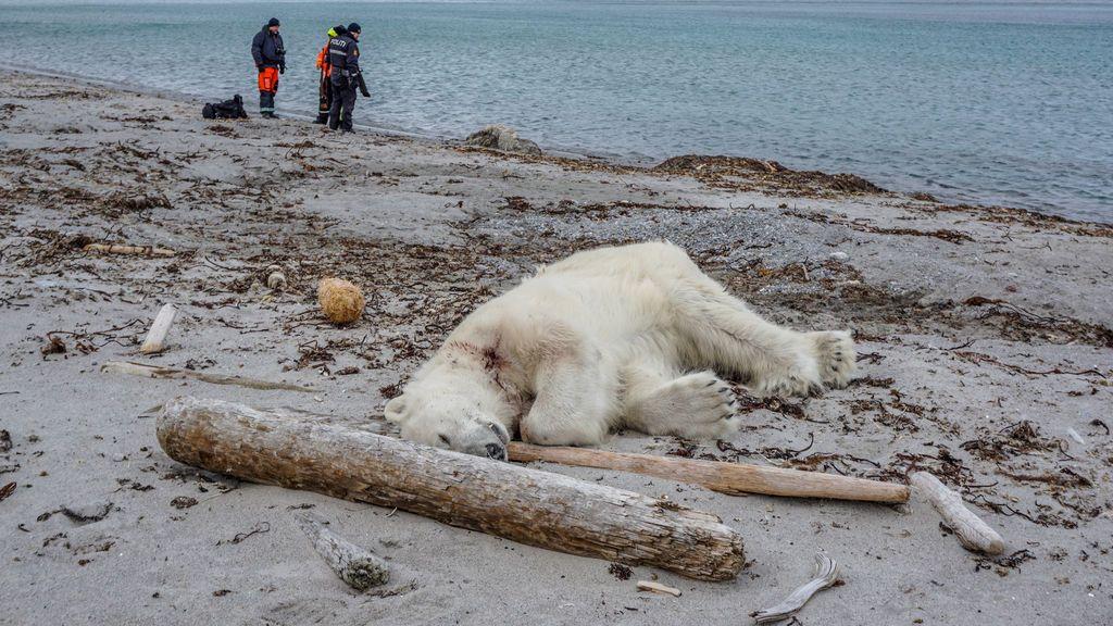 Disparan y matan a un oso polar en Noruega después de que atacara al guardia de un crucero