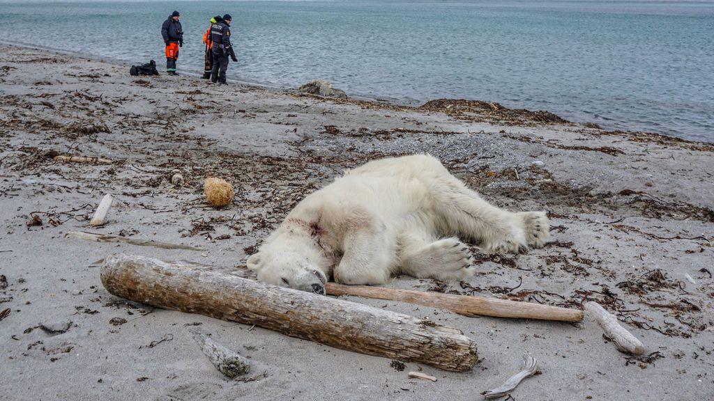 Matan a un oso polar después de que atacara al guardia de un crucero en Noruega