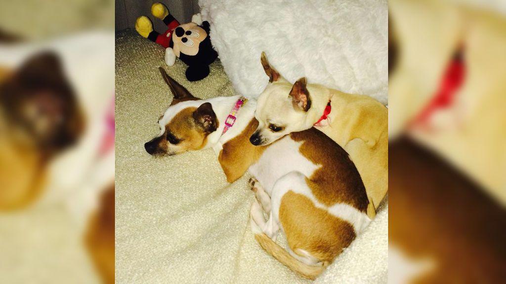 Buscan a Loula y Gucci, dos perros secuestrados en su casa de Crevillente (Alicante)