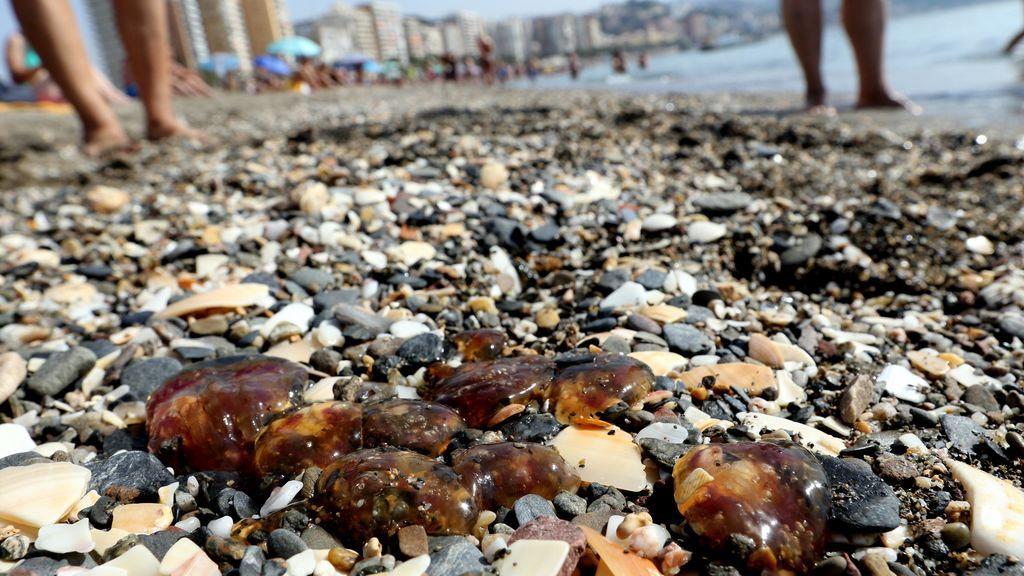 Continua la invasión de medusas en Málaga: es imposible bañarse desde Fuengirola hasta Nerja
