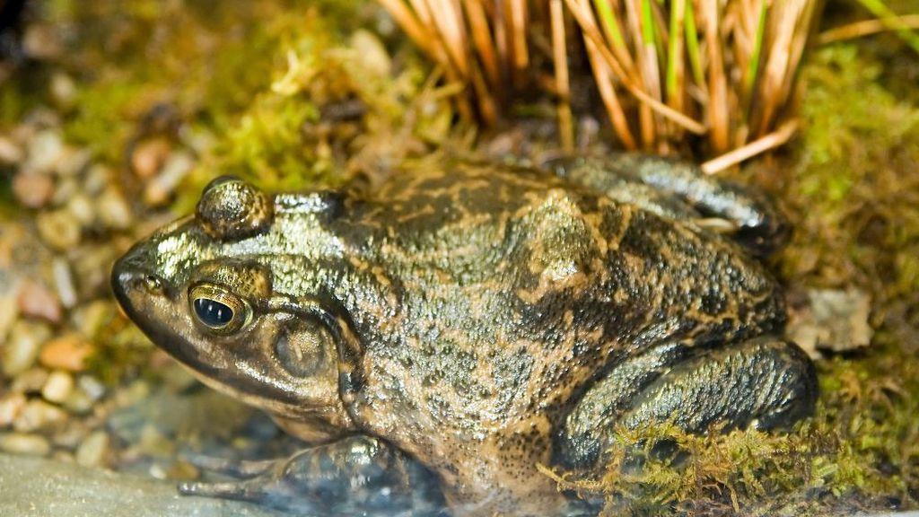 La rana toro pone en peligro  el Delta del Ebro: se activa el sistema de alerta temprana