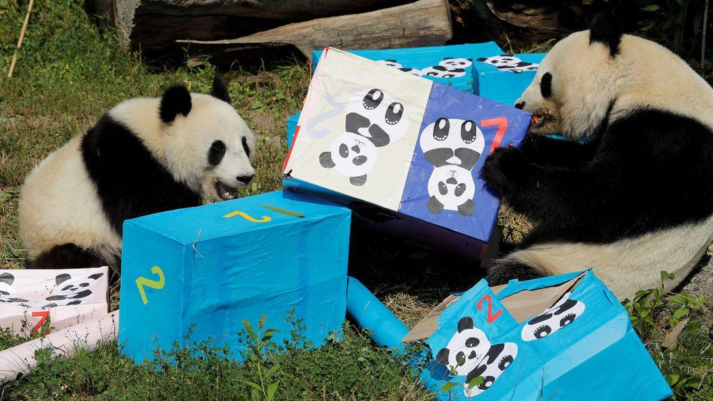 Dos osos panda gemelos abren sus regalos