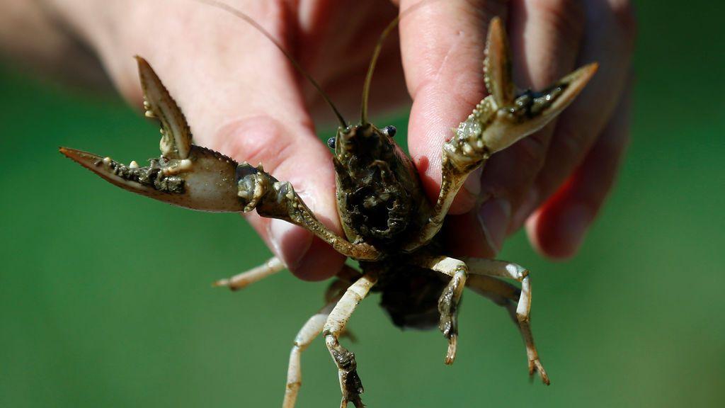 Un cangrejo del río autóctono del suroeste de Alemania