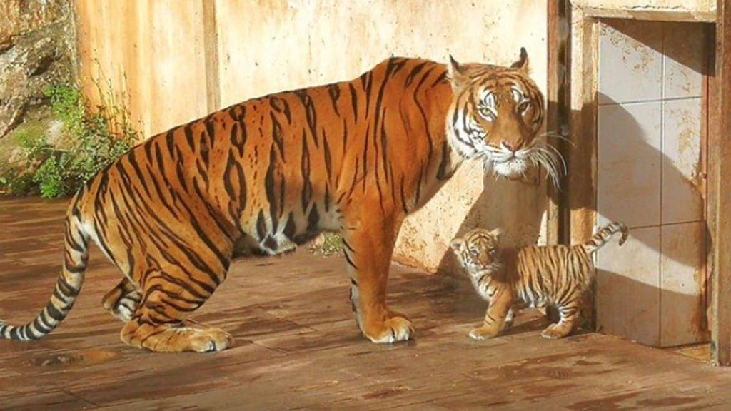 El Parque de Cabárceno cuenta con un recién nacido tigre de Bengala
