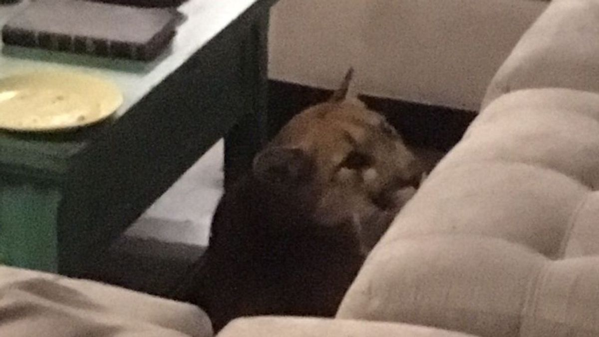 """Un puma se cuela en una vivienda y mata a un gato: """"Parecía muy extraño"""""""