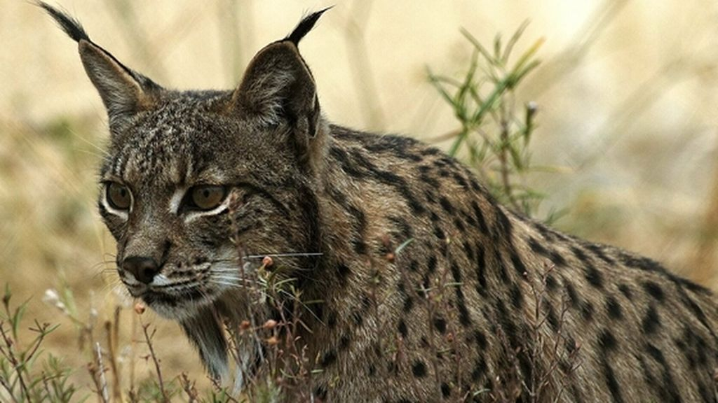 lince-4