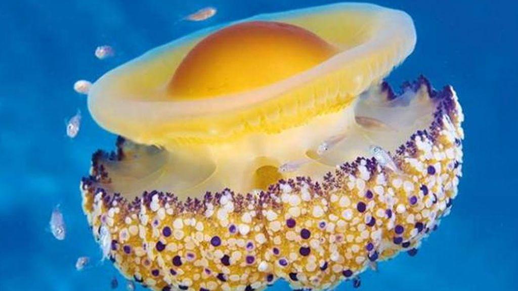 La proliferación de medusas, algas y otras especies amenazan el baño en el Mediterráneo