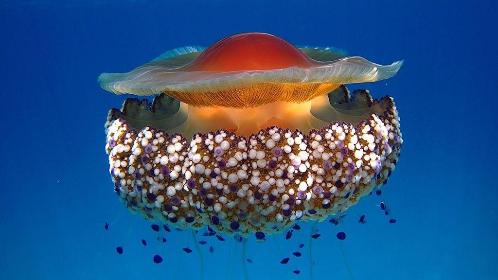 medusa huevo frito