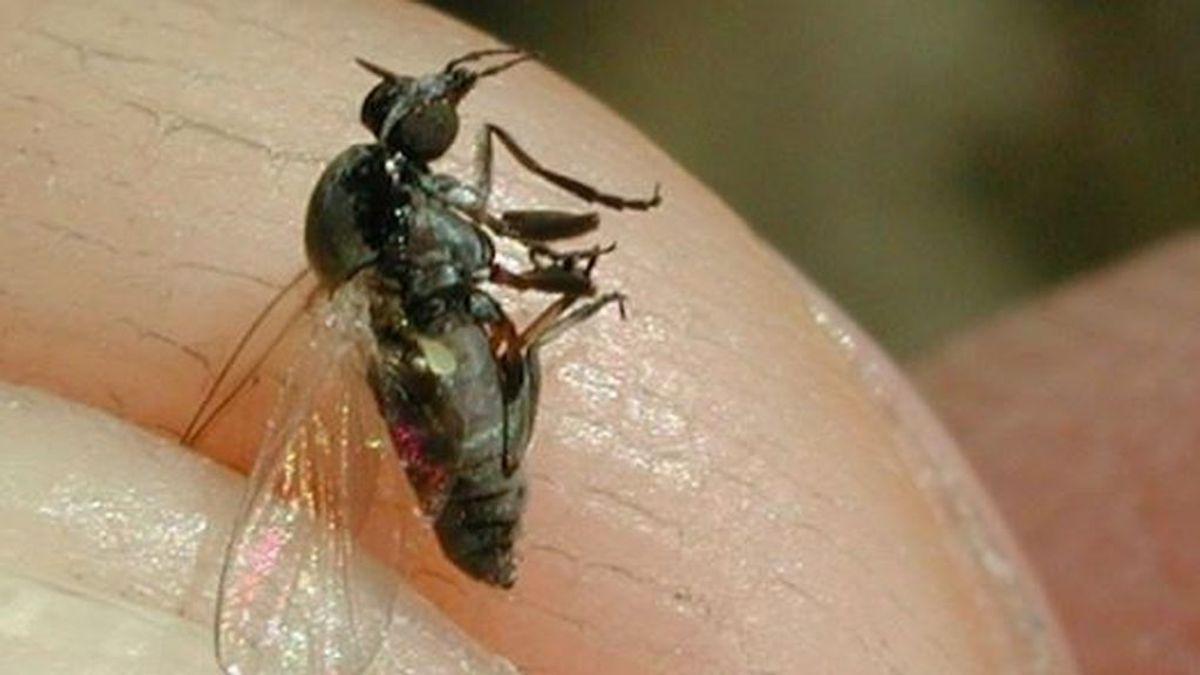 La mosca negra hace su agosto en España, se extiende y  ya es un problema de salud