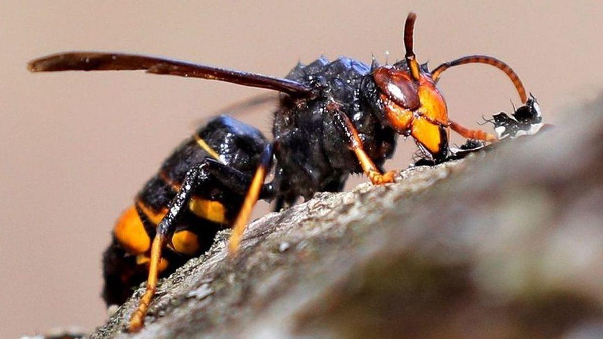 Invasión de avispas vetulinas: Su picadura puede ser mortal