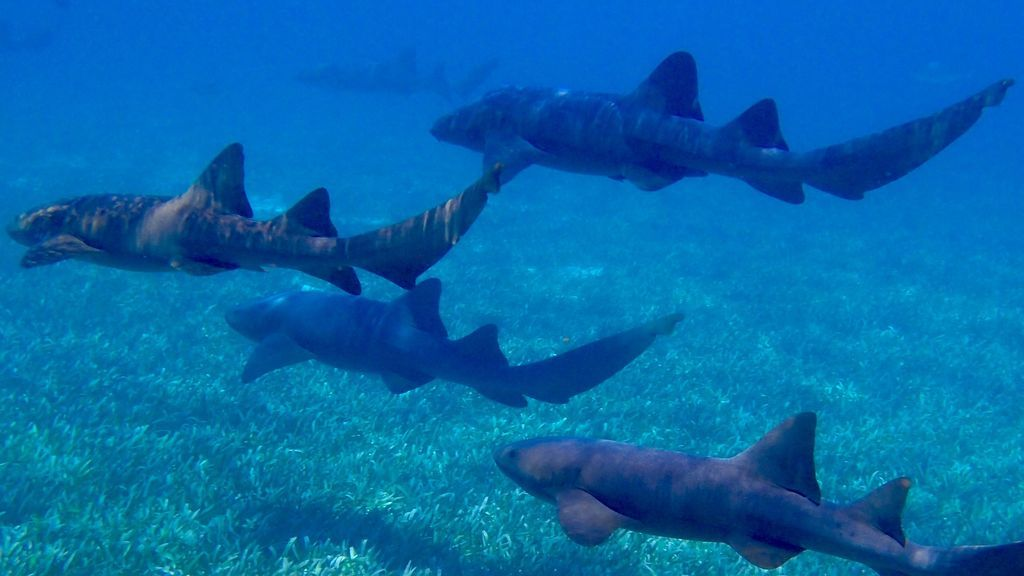 tiburon nodriza