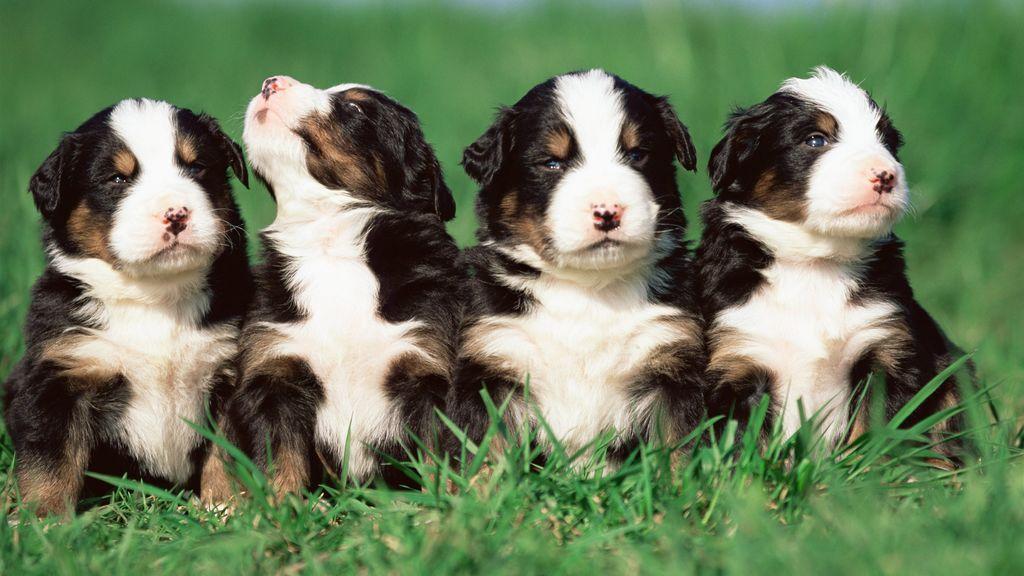 Toma ejemplo, España: Inglaterra prohíbe la venta de cachorros en tiendas de animales