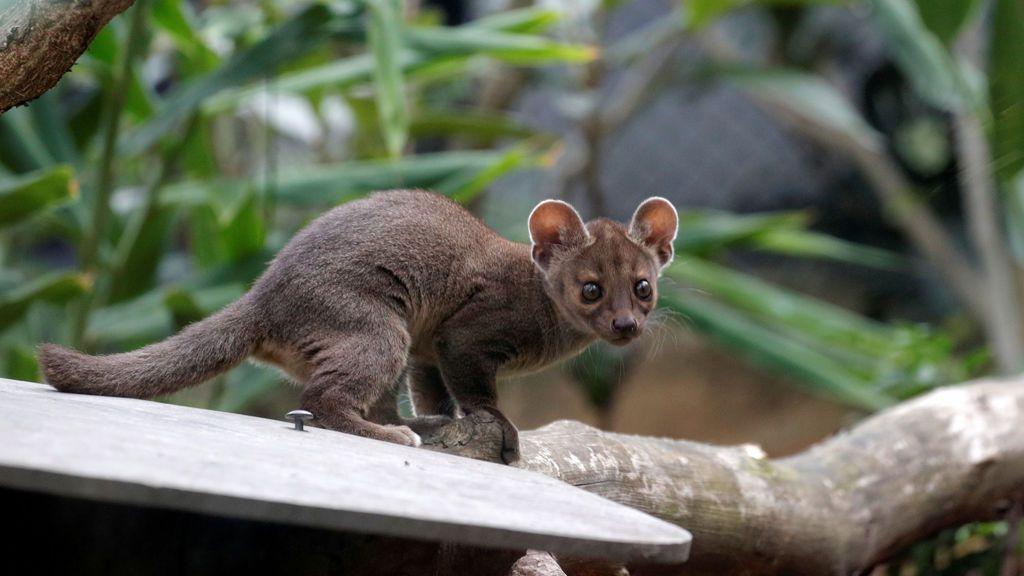 El zoológico de París da la bienvenida a una nueva fosa de Madagascar