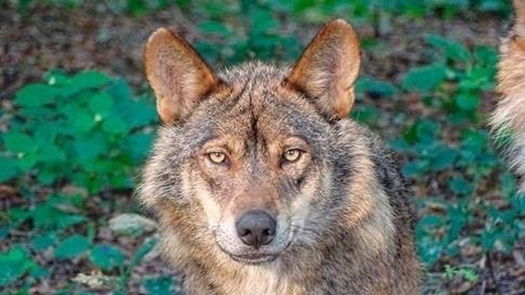 Matan a un lobo y arrojan su cabeza a una piscina pública en Asturias