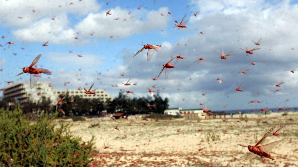 El cambio climático generará insectos devoradores de cultivos