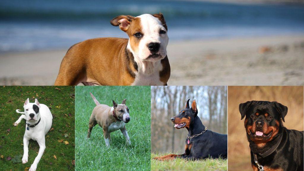 ¿Sabes cuáles son los perros potencialmente peligrosos?