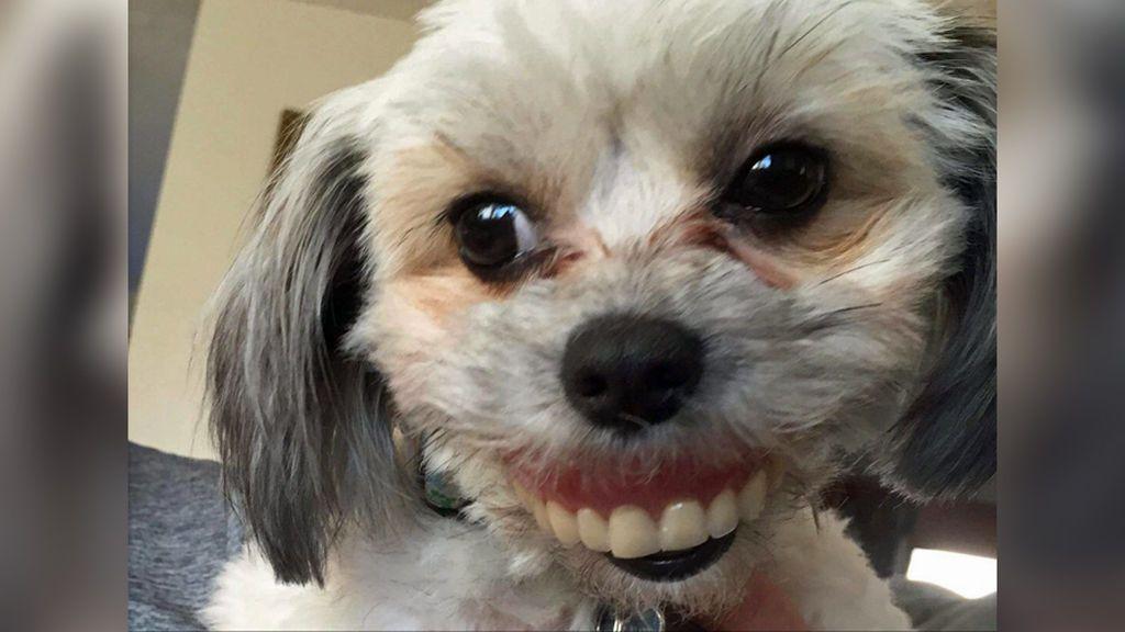 ¿Qué hace esta perra con dentadura humana?