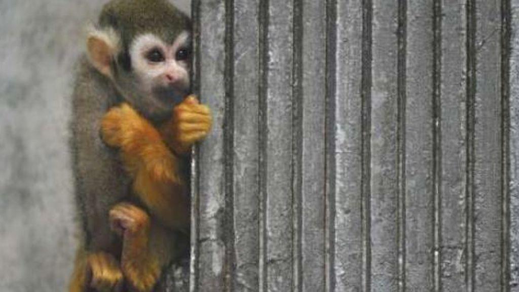 Se cuela en un zoo para robar un mono para su novia, se pelea con ellos y acaba condenado